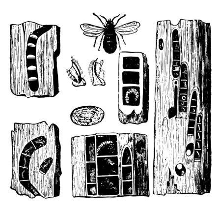 This image represents Carpenter Bee Pupae Eggs Galleries and Nests vintage line drawing or engraving illustration.