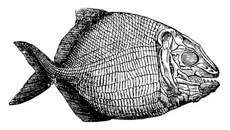 Fish Fossil which is the plate displays well defined remains of fish that swam the oceans millions of years ago, vintage line drawing or engraving illustration.