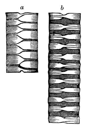 Bird Trachea looking like alternating half rings vintage line drawing or engraving illustration. Stock Illustratie