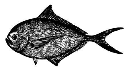Atlantic Pomfret is a fish in the Bramidae family of pomfrets vintage line drawing or engraving illustration. Иллюстрация
