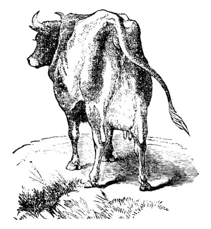 Heifer which is a female cow vintage line drawing or engraving illustration.