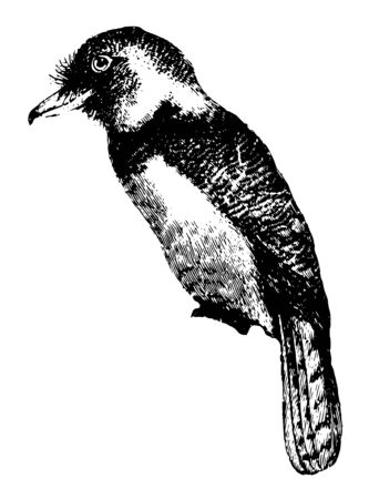 Barbet which is usually plump looking with large heads vintage line drawing or engraving illustration.