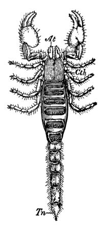 Black Rock Scorpion is a species of scorpion belonging to the subfamily Urodacinae vintage line drawing or engraving illustration. Vectores