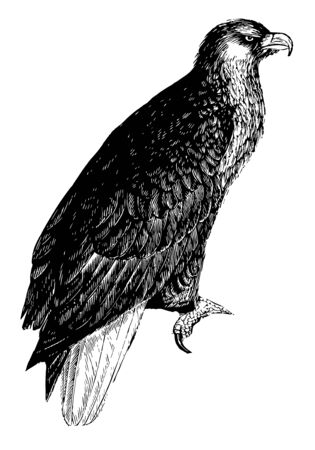 American Sea Eagle with immense muscular vigor, vintage line drawing or engraving illustration.
