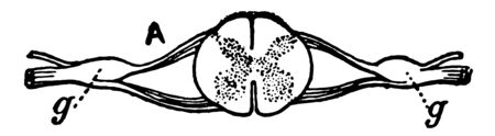 Nerve Ganglia or Knots occur as collections of nerve cells on the course of a nerve forming, vintage line drawing or engraving illustration.
