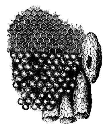 Portion of the Comb with the eggs occupying the cells vintage line drawing or engraving illustration.