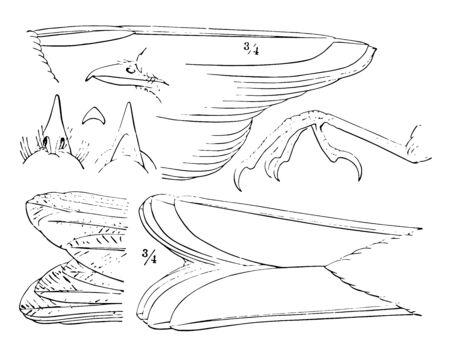 Generic Details of a Thrush where bill and foot nat vintage line drawing or engraving illustration. Ilustração