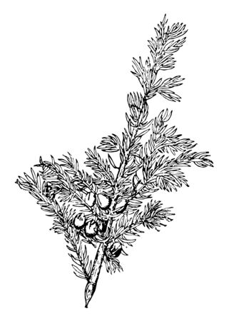 The juvenile leaves of a juniper are needlelike. Mature leaves are awl-shaped, spreading, and arranged in pairs or in whorls of three, vintage line drawing or engraving illustration. 일러스트