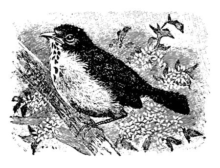 Robin Redbreast is species of birds of the warbler family vintage line drawing or engraving illustration.