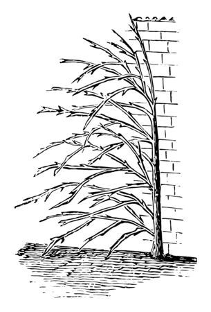 This illustration represents Training for Apricot Trees at Gable Ends of Cottages, vintage line drawing or engraving illustration.