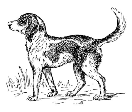 Foxhound is a breed of dog that is a cousin of the English Foxhound vintage line drawing or engraving illustration.