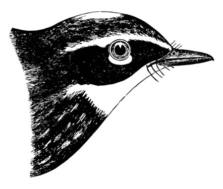 This image represents Yellow rumped Warbler vintage line drawing or engraving illustration.
