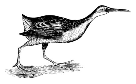 Clapper Rail is a member of the rail family vintage line drawing or engraving illustration.