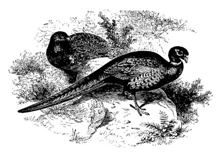 Ring Necked Pheasant native to China vintage line drawing or engraving illustration. Ilustracja