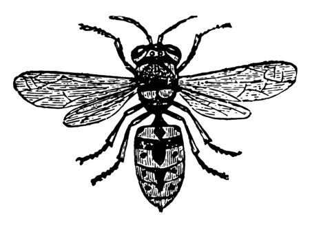 Common Wasp which last only a year and are composed of males vintage line drawing or engraving illustration.