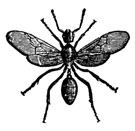 Male Red Ant with a perfect understanding among themselves vintage line drawing or engraving illustration. Çizim