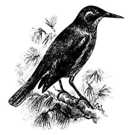 Pinyon Jay is a bird in the Corvidae family of oscine passerine birds, vintage line drawing or engraving illustration. Illustration