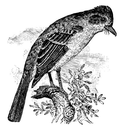 This illustration represents Ash throated Flycatcher vintage line drawing or engraving illustration.