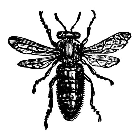 Female or Queen Bee where the wings are shorter in proportion vintage line drawing or engraving illustration.
