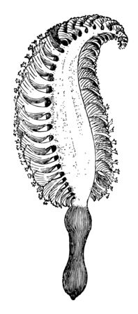 Pennatula Spinosa which are constituted of bundles at the base of the calyx of each polyp vintage line drawing or engraving illustration.