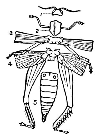 Diagram of the External Structure of an Insect in which the head carrying the eyes and the antennae vintage line drawing or engraving illustration.
