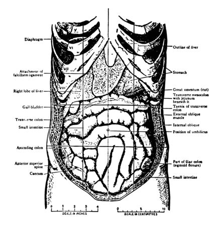 The Abdominal Viscera in situ as seen when the abdomin is laid open and the great omentum removed vintage line drawing or engraving illustration.