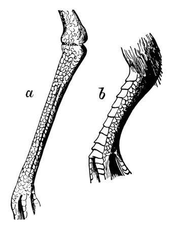 Reticulate Tarsus of a Plover in which Scutellate and reticulate tarsus of a pigeon vintage line drawing or engraving illustration. Illustration