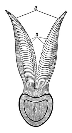 This image represents Section of a Branchial Arch of a Cod vintage line drawing or engraving illustration.