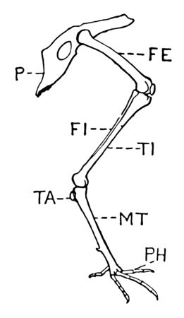 This diagram represents Leg of Bird, vintage line drawing or engraving illustration. Ilustrace
