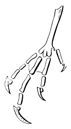 This diagram represents Phalanges of Caprimulgine vintage line drawing or engraving illustration.