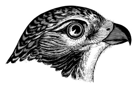 Red tailed Buzzard where the tail appears pearly whitish with a reddish tinge vintage line drawing or engraving illustration.