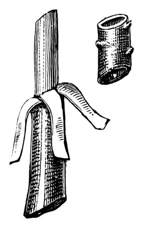 This illustration represents Flute Budding which is a cylinder of bark is removed from the stock vintage line drawing or engraving illustration. Ilustracja