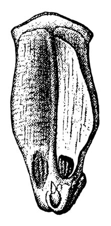 The loblolly pine also known as slash to pine is a common pine tree in the Virginias and Carolinas vintage line drawing or engraving illustration. Ilustrace