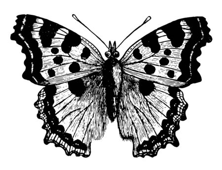 Large Tortoise Shell Butterfly is found in July and September vintage line drawing or engraving illustration. Ilustrace