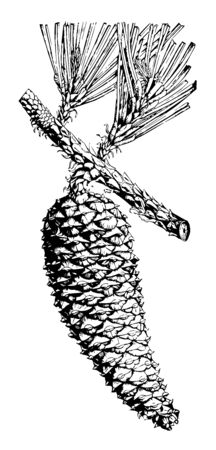 An oval shaped cone hanging on a branch of a tree. Cone shape is straight vintage line drawing or engraving illustration.
