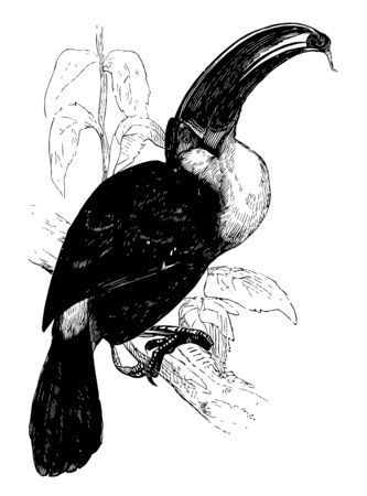 Ariel Toucan is native to Brazil, vintage line drawing or engraving illustration.