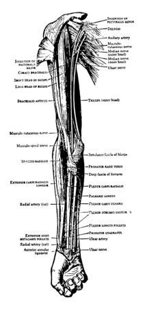 This illustration represents Muscles on the Front of the Arm and Forearm vintage line drawing or engraving illustration.