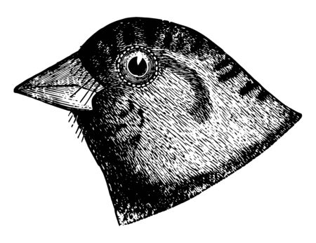 Brandt Rosy Finch having the ashy extending over the sides of the head vintage line drawing or engraving illustration. 版權商用圖片 - 133037416