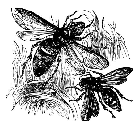 Wasp and Hornet belong to the Vespidae family vintage line drawing or engraving illustration.