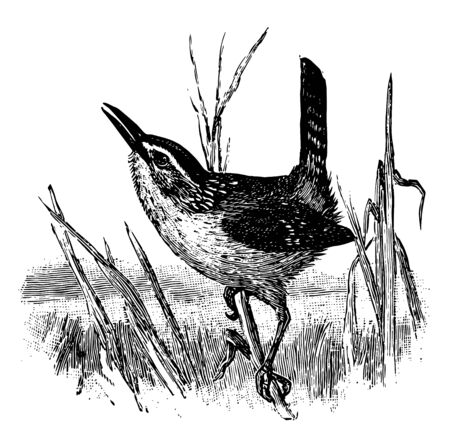 Marsh Wren is a small North American songbird of the wren family vintage line drawing or engraving illustration.