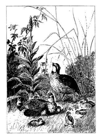 This illustration represents Group of Adult & Baby Quail vintage line drawing or engraving illustration. Ilustrace