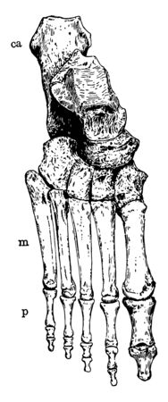 This illustration represents Bones of the Ankle and Foot vintage line drawing or engraving illustration.