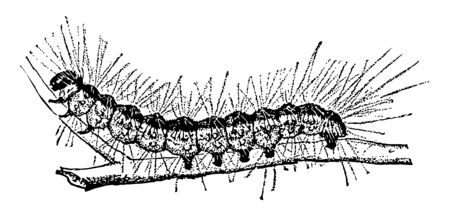 Fallweb Worm Caterpillar which is mainly an aesthetic pest and is not believed to harm otherwise healthy trees vintage line drawing or engraving illustration.
