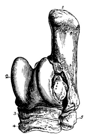 Tarsus of a Horse which consist of cuneiforme magnum and cuneiforme medium vintage line drawing or engraving illustration. Illustration