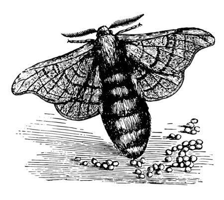 Female Silkworm Moth will have laid between 300 and 700 eggs in total vintage line drawing or engraving illustration.