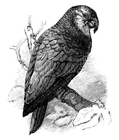 Amazon Parrot es el nombre común de un loro del género Amazona, grabado o dibujo de línea vintage de la ilustración. Ilustración de vector