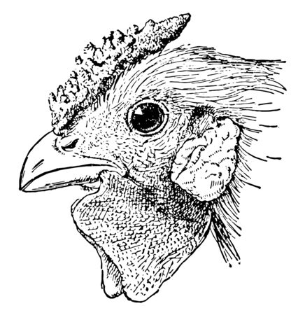 This illustration represents Head of Rose Comb Chicken vintage line drawing or engraving illustration.