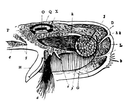 This illustration represents Byssus mantle and oviduct of the Mytilus vintage line drawing or engraving illustration. Banco de Imagens - 132802435