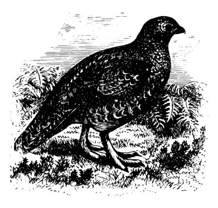 Red Game of Britain in which tail short little rounded and normally of 14 broad feathers vintage line drawing or engraving illustration.