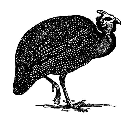 This image represents Guinea Fowl, vintage line drawing or engraving illustration. Illustration